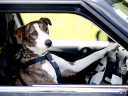 Driving_dogs